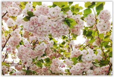 加草雪霸休閒農場櫻花盛開